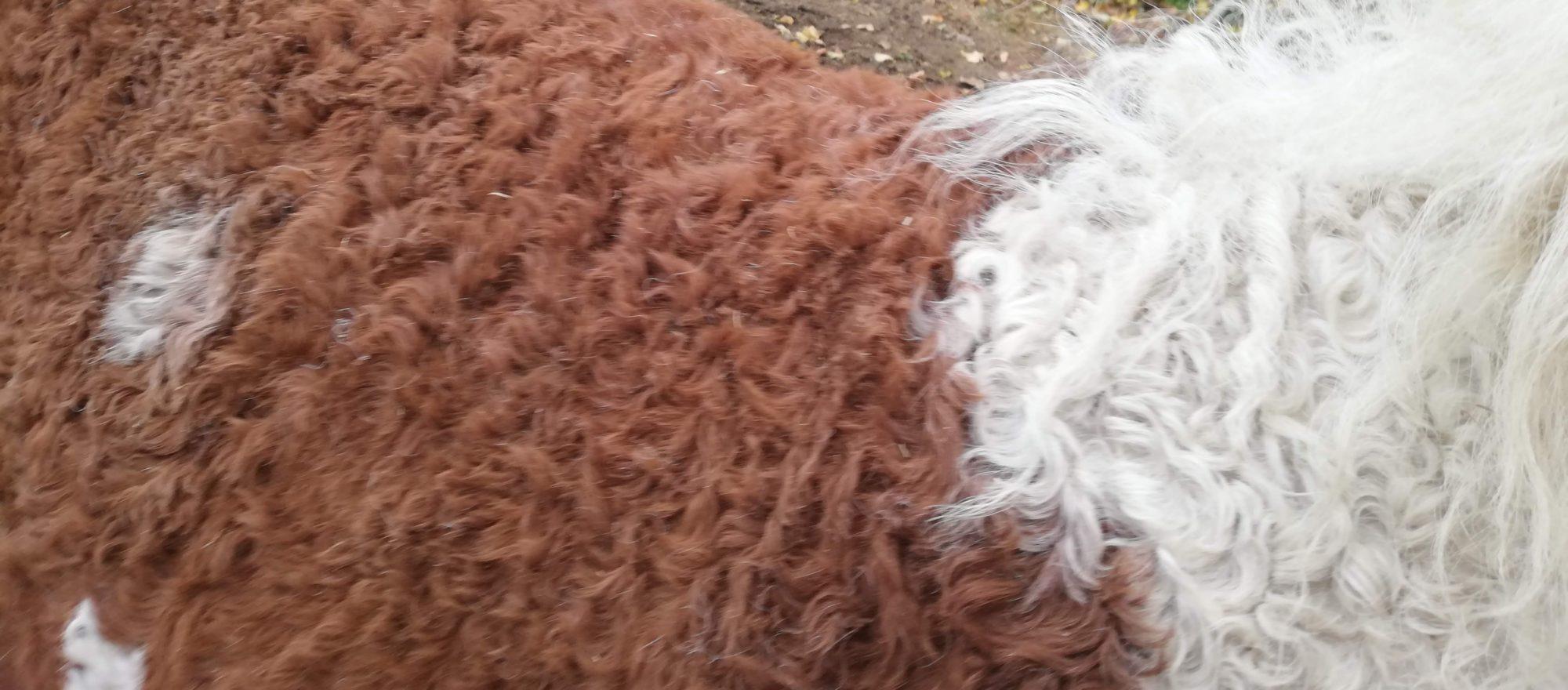 Curlyhorsefarm